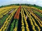 Làng hoa trên đất thép tất bật vụ Tết