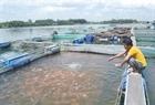 Nạo vét sông Cổ Cò – các hộ dân phải dừng việc nuôi cá lồng bè