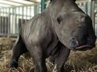 Vườn thú Ba Lan chào đón tê giác Ấn Độ chào đời