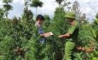 Lén lút trồng cây cần sa từ vùng cao tới đô thị