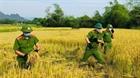Công an huyện Ứng Hòa gặt lúa giúp dân vùng cách ly