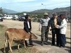 Kon Tum: 150 hộ được tặng bò