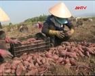 Đắk Lắk: Khoai lang rớt giá, người trồng lỗ lớn