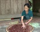 Hà Tĩnh: Trồng ớt liên kết, nông dân lâm cảnh nợ nần