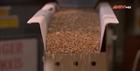 Xưởng xay bột nghìn năm tuổi bận rộn do Covid-19