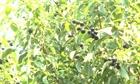 Cẩn trọng khi phát triển cây đàn hương ở Đắk Lắk