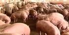 Đảm bảo đủ nguồn cung thịt lợn cho Tết Nguyên đán 2021