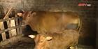 Khống chế dịch bệnh viêm da nổi cục ở trâu bò