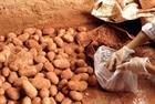 Kỹ nghệ nhuộm đất Đà Lạt cho khoai tây Trung Quốc