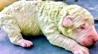 Chú cún con có màu lông xanh tự nhiên kỳ lạ