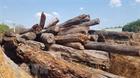 Bình Phước: Tiêu huỷ hàng ngàn mét khối gỗ theo cách...tự mục?