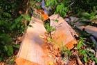 Đắk Lắk: Rừng bị chặt hạ, đốt trụi ngay gần khu dân cư