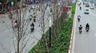 Phong lá đỏ và bài học trồng cây đô thị