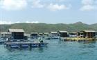 Khó khăn bủa vây nghề nuôi trồng thủy sản trên đảo Lý Sơn