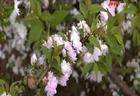 Vườn mai trắng quý ở Hà thành