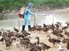 Phú Yên ngăn chặn lây lan cúm gia cầm H5N6