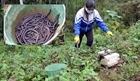 Dùng máy kích điện tận diệt giun đất ở Lạng Sơn