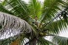 Nghề hái dừa ở xã đảo Tam Hải