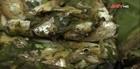 Món cá suối nướng của người Thái