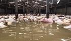 Tiêu hủy đàn lợn chết trong nước lũ