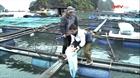 Cẩm Phả phát triển nuôi cá lồng bè thân thiện với môi trường