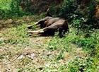 Hai cha con lĩnh án trong vụ giết bò tót