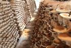 Làm giàu nhờ học trồng nấm trên mạng