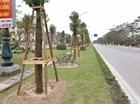 Trồng hơn 1000 cây long não ở đường hoa phượng dài nhất Việt nam