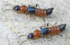 Nhận biết và xử lý tổn thương từ kiến ba khoang
