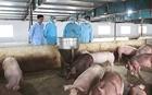 Ngăn chặn dịch tả lợn châu Phi lây lan