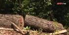 Rừng pơ mu hàng trăm năm tuổi đang bị hủy diệt