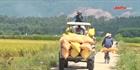 Đà Nẵng: Bà con phấn khởi trúng vụ lúa hè thu
