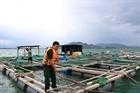 Người dân khẩn trương thu hoạch cá lồng bè chạy bão