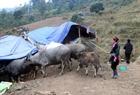 Người dân Sa Pa sơ tán đàn gia súc đi tránh rét