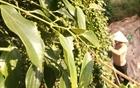 Hồ tiêu bất ngờ tăng giá mạnh, người trồng phấn khởi