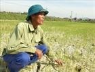 Nhiều diện tích lúa và hoa màu có nguy cơ chết cháy