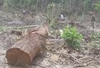 Tận thu gỗ sau bão, lâm tặc phá hơn 10 ha rừng