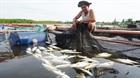 Kết luận nguyên nhân khiến 120 tấn cá chết tại Hà Tĩnh