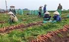 Vận chuyển và xuất khẩu cà rốt gặp khó khăn
