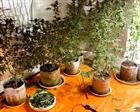 Lắp cả điều hòa trồng cần sa trong nhà riêng