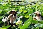 Hồi sinh sen trắng ở hồ Tịnh Tâm