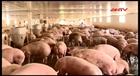 Hiệu quả từ chăn nuôi công nghệ cao ở HTX Ba Vì