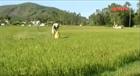 Quảng Ngãi: Gần 7.000 hecta đất nông nghiệp đối mặt với hạn hán