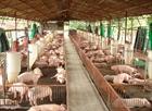 Triển khai các giải pháp khống chế dịch tả lợn châu Phi