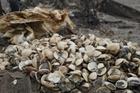 Hà Tĩnh: Ngao chết hàng loạt do mật độ nuôi quá dày
