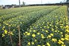 Làng hoa nở rộ mà người trồng héo hon