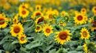 Người trồng phấn khởi vì giá hoa tươi tăng cao