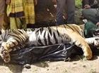 Ấn Độ phạt án chung thân con hổ ăn thịt người