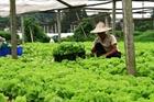 Người trồng rau lao đao vì dịch