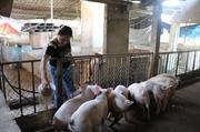Dịch chồng dịch khiến người chăn nuôi điêu đứng
